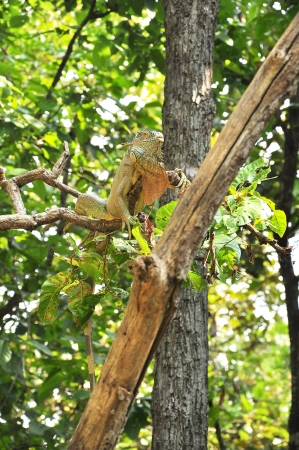 Woody Dragon. Green iguana on twisted tree branch. photo
