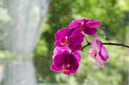 purple orchid: purple orchid bloomed this summer home on the window