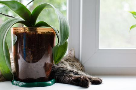 gato gris: gato gris durmiendo en la ventana cerca de la flor de un d�a de verano