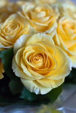 yellow roses: Rosas amarillas - ramo como un regalo en el cumplea�os