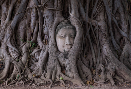 pipal: Head of Buddha statue in pipal tree root at Ayutthay,Thailand.