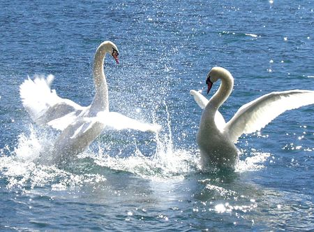 battling: Two swan battling it out. Stock Photo