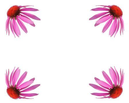 dicot: Echinacea  Coneflower design.