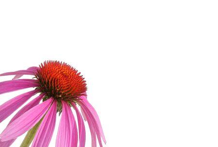 dicot: Purple coneflowerechinacea