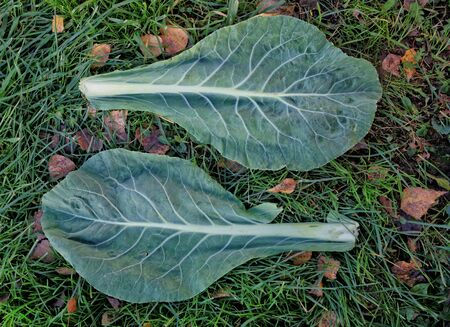 Cabbage leaves lie on the ground. Harvesting is in progress Stock Photo