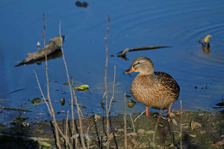 A wild duck stands on the river bank Stock Photo