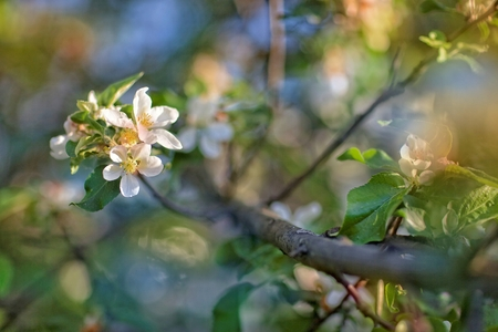 pruning: Flowering of fruit bushes