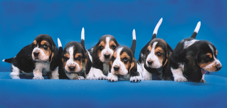 Basset Hound Breeding Puppies Sit in a row Stock Photo