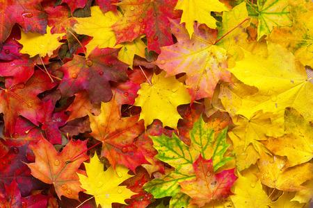 kropla deszczu: Background of fallen autumn leaves.