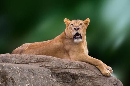 Lioness lying on rock. Bali Island, Indonesia