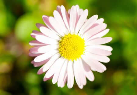 oxeye: Closeup of a yellow and white Marguerite, Daisy flower on green background, Oxeye Daisy Leucanthemum Stock Photo