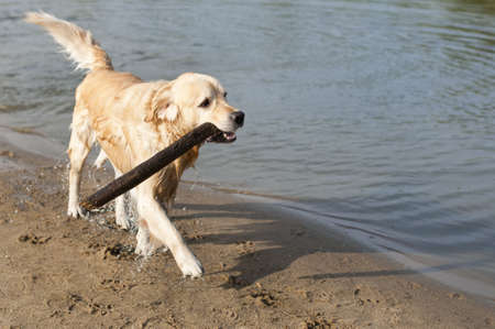 retrieve: beautiful golden retriever which holds stick on the beach