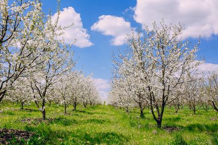 blu sky: cherry blossom tree green and blu sky