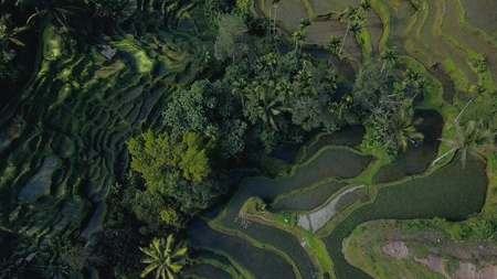 green rice terrace in bali indonesia Stock Photo - 91512044