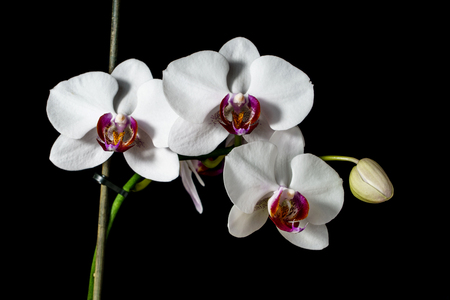 Orchid with large white flowers isolated on a black background.