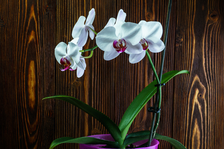 season specific: Orchid with large white flowers on the background of an wooden wall