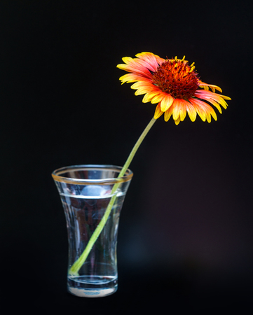 The bright red and yellow flower of Gaillardia pulchella in the glass vase on dark background