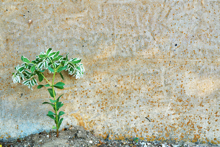 Spurge fringed against the background of a concrete wall. Commonly known as snow on the mountain, variegated spurge, or whitemargined spurge.