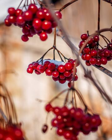 Beautiful bunches viburnum in snow. Closeup Red berry on snowy natural background. Winter plants scene.