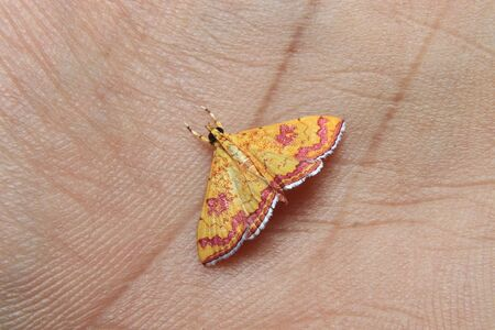 little colorfull Isocentris filalis moth on hand