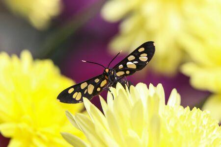 Amata cyssea, (The handmaiden moth) on finger tips