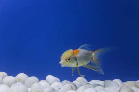 red cape goldfish in a big empty tank Foto de archivo