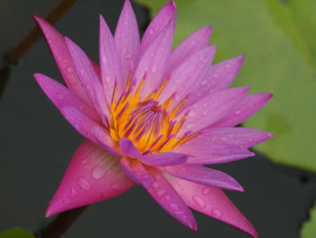 goodly: Beautiful lotus