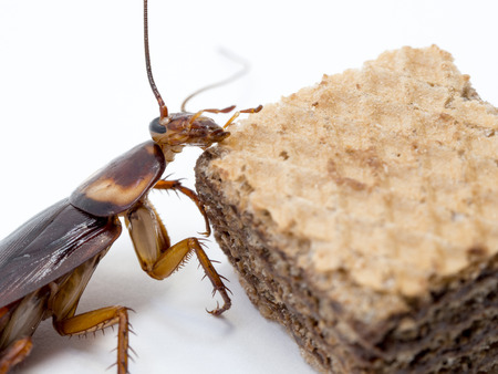 Closeup cockroach on the chocolate wafer. Cockroaches are carriers of the disease.
