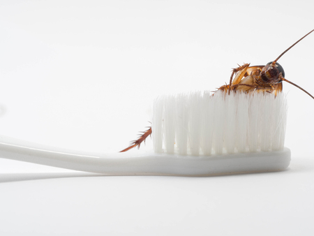 Cockroaches stick on the tip of a white toothbrush. Cockroaches are carriers of the disease. Stock Photo