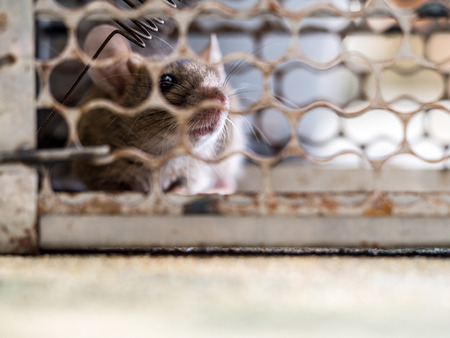 soft focus of the rat was in a cage catching a rat. the rat has contagion the disease to humans such as Leptospirosis, Plague, Homes and dwellings should not have mice. The eyes of rat show fear.