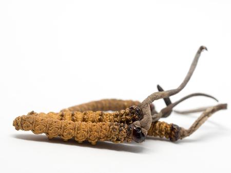 가까이 Ophiocordyceps sinensis (CHONG CAO, DONG CHONG XIA CAO) 또는 버섯 cordyceps 이것은 허브입니다. 질병 치료의 약용 특성.