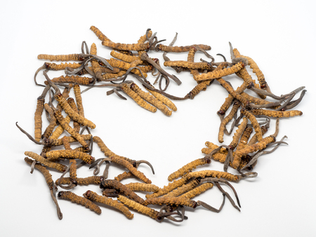 Close up Ophiocordyceps sinensis  or mushroom cordyceps this is a herbs. Medicinal properties in the treatment of diseases.