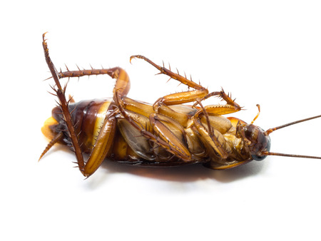 Closeup cockroach show details all of body on a white background (ISOLATED).  Cockroaches are carriers of the disease.