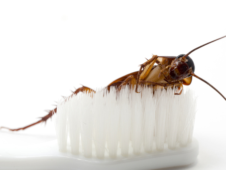 Kakkerlakken steken op het puntje van een witte tandenborstel. Kakkerlakken zijn dragers van de ziekte.