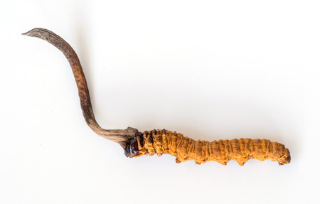 Ophiocordyceps sinensis (CHONG CAO, DONG CHONG XIA CAO) or mushroom cordyceps this is a herbs on isolated background. Medicinal properties in the treatment of diseases. National organic medicine. Stock fotó