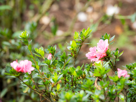 Pink flowers are blooming beside green leaves.The background is a dry leaf, brown. Stock Photo