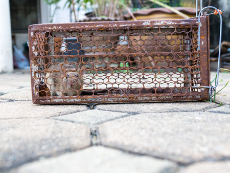 The rat was in a cage catching. Rat has contagion the disease to humans such as Leptospirosis, Plague. Homes and dwellings should not have mice. Pet control.Animal contagious diseases prevent Standard-Bild - 110368160