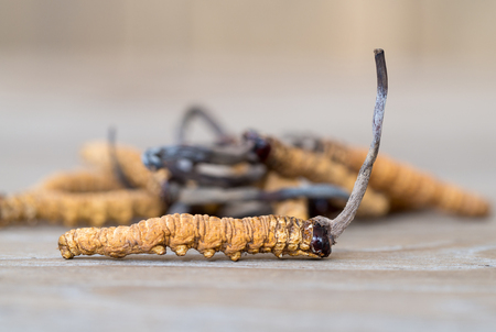 group of mushroom cordyceps or Ophiocordyceps sinensis this is a herbs on wooden table. Medicinal properties in the treatment of diseases. National organic medicine.