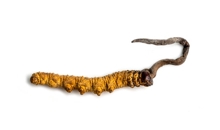 cordycepe sinensis (CHONG CAO, DONG CHONG XIA CAO) or mushroom cordyceps this is a herbs on isolated background. Medicinal properties in the treatment of diseases. National organic medicine.
