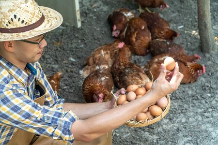 young smart farmer wear plaid long sleeve shirt brown apron are holding fresh chicken eggs into basket at a chicken farm in him home area Фото со стока
