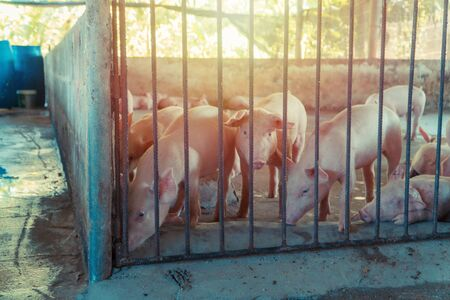 Group of pig that looks healthy in local  swine farm at livestock. The concept of standardized and clean farming without local diseases or conditions that affect piglet growth or fecundity Banco de Imagens