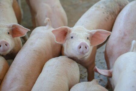 Groupe de porcs qui a l'air en bonne santé dans une ferme porcine locale de l'ANASE à l'élevage. Le concept d'agriculture standardisée et propre sans maladies ou conditions locales qui affectent la croissance ou la fécondité des porcs