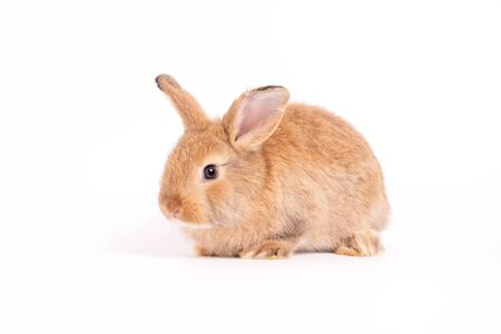 Furry and fluffy cute red brown rabbit erect ears are sitting look in the camera, isolated on white background. Concept of rodent pet and easter. Standard-Bild