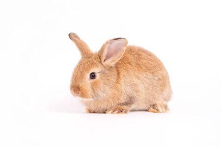 Les oreilles dressées de lapin brun rouge mignon poilu et moelleux sont assis dans l'appareil photo, isolés sur fond blanc. Concept d'animal de compagnie de rongeur et de Pâques. Banque d'images