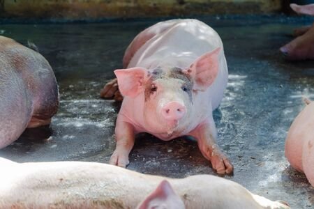 Group of pig that looks healthy in local ASEAN pig farm at livestock. The concept of standardized and clean farming without local diseases or conditions that affect pig growth or fecundity Banco de Imagens