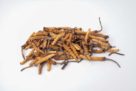 close up Ophiocordyceps sinensis or mushroom cordycep this is a herbs. Medicinal properties in the treatment of diseases.