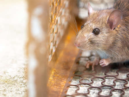 Rat is trapped in a trap cage or trap. the dirty rat has contagion the disease to humans such as Leptospirosis, Plague. Homes and dwellings should not have mice. cage catching control a rat Фото со стока