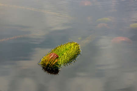 Young closed gaint victoria amazonica in water. Stock Photo