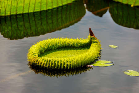 Victoria amazonica leaf on water surface. Botanical concept.