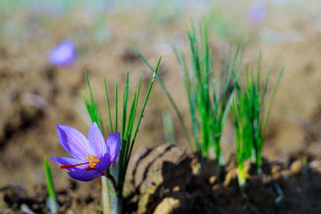 Fresh purple saffron flowers in a field during flowering at harvest time
